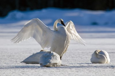 1200px-Trumpeter_swans_in_winter